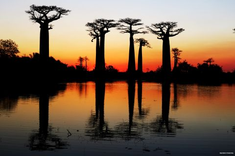 Dark silhouettes of the baobabs contrast with the colourful horizon right after the sunset.